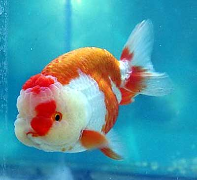 Ranchu goldfish for sale from mona 39 s koi for Koi und goldfisch