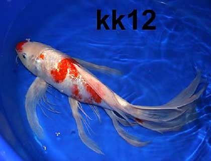 koi and goldfish for sale from mona 39 s koi including