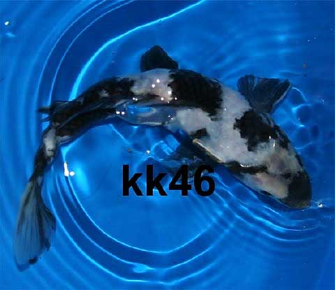 Koi and goldfish for sale from mona 39 s koi including for Sakai koi for sale