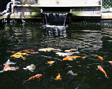 Koi and goldfish for sale from mona 39 s koi including for Used koi pond equipment sale