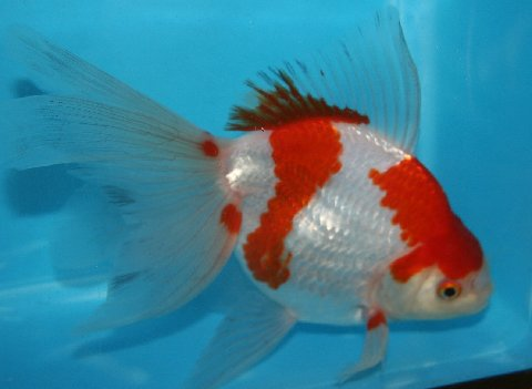 Ryukin goldfish for sale from mona 39 s koi for Koi goldfish for sale